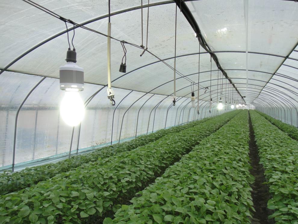 Oświetlenie Uprawy Roślin Energooszczędne żarówki O